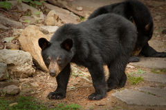 Young wild bear stock images