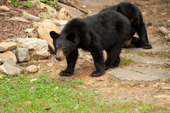 Young wild bear Stock Photo