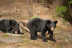 Young wild bear stock photography