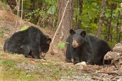 Young wild bears Stock Photos