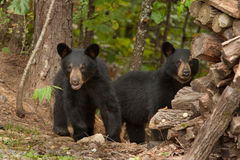 Young wild bears stock image