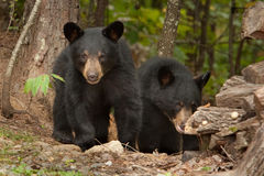 Young wild bears royalty free stock images