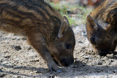Young Wild Boar. Close-up picture of two baby wild boar eating Stock Image