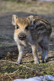 Young wild boar. It is a young wild boar Royalty Free Stock Photos