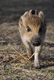 Young wild boar. It is a young wild boar Stock Photo