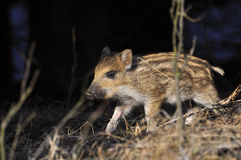 Young wild boar Stock Images
