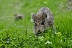 Young wild boar. It is a young wild boar Stock Image