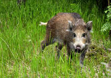 Young wild boar. It is a young wild boar Royalty Free Stock Photo