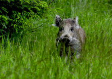 Young wild boar. It is a young wild boar Royalty Free Stock Image