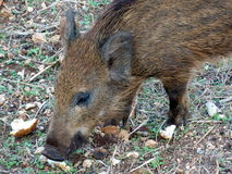 Young wild boar. Eat acorns under the oaks Stock Photography