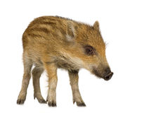 Young wild boar. In front of a white background Royalty Free Stock Photos