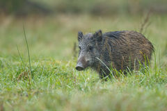 Young wild boar. In early morning dew, Bavaria Stock Photography
