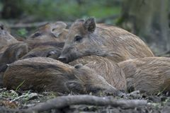 Young wild boar. The Netherlands Stock Photography