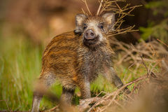 Young wild boar. In natural surroundings on a sunny day Stock Image