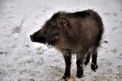 Young wild boar. It is a young wild boar Stock Photos