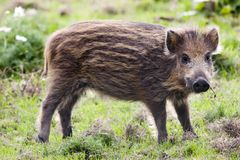 Young wild boar. It is a young wild boar in french natural park Royalty Free Stock Photography