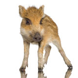 Young wild boar ( 7 weeks ). Young wild boar in front of a white background Royalty Free Stock Photography