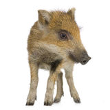 Young wild boar ( 7 weeks ). Young wild boar in front of a white background Royalty Free Stock Photo