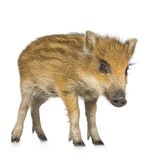 Young wild boar ( 7 weeks ). Young wild boar in front of a white background Stock Photo