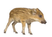 Young wild boar ( 7 weeks ). Young wild boar in front of a white background Stock Image