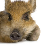 Young wild boar ( 7 weeks ). Young wild boar in front of a white background Royalty Free Stock Image