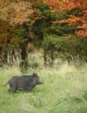 Young wild boar in autumn. A very young boar foraging in autumn Stock Photo