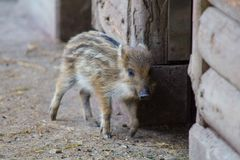 Young wild boar in the barn. Country image Royalty Free Stock Images