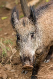 Young wild boar. Eat acorns under the oaks Stock Photo
