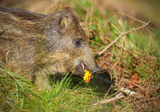 Young wild boar eating corn. Young wild boar foraging in fallen branches near a corn field Stock Photo