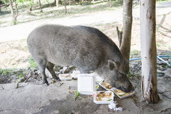 Young wild boar eating human food. Wild strong animal Royalty Free Stock Images