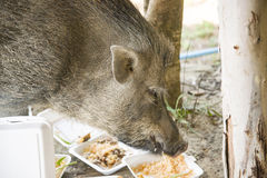 Young wild boar eating human food. Wild strong animal Stock Photo