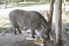 Young wild boar eating human food. Wild strong animal Stock Images