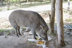 Young wild boar eating human food. Wild strong animal Stock Photography