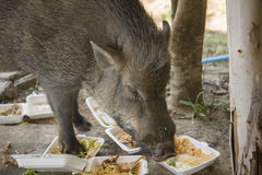 Young wild boar eating human food. Wild strong animal Royalty Free Stock Photography