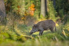 Young wild boar sow Stock Photography