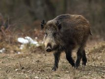 Young wild boar face to face. In a clearing Royalty Free Stock Photo