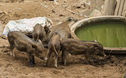 Young Wild boar in farm. Wildlife in natural habitat. royalty free stock image