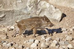 Young wild boar feeding on the ground. Animal wildlife. Horizontal Royalty Free Stock Images