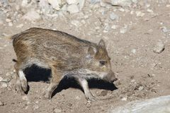 Young wild boar feeding on the ground. Animal wildlife. Horizontal Stock Image