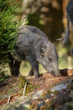 Young wild boar foraging. A 10 month old boar forages for grubs in rotting woodland Royalty Free Stock Photography