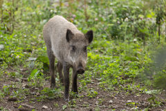Young wild boar foraging Stock Image