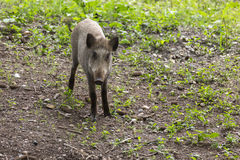 Young wild boar foraging Stock Photo