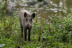 Young wild boar foraging Royalty Free Stock Photography