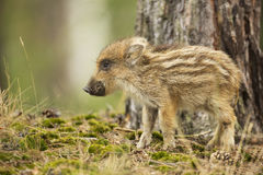 Young wild boar. In the forest Stock Photo