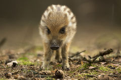 Young wild boar. In the forest Royalty Free Stock Photo