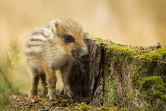 Young wild boar. In the forest Royalty Free Stock Image