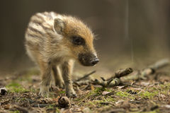 Young wild boar. In the forest Stock Photography