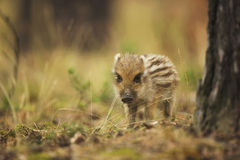 Young wild boar. In the forest Royalty Free Stock Photography