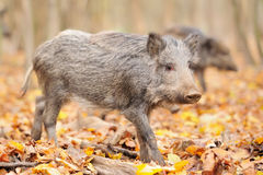 Young wild boar in forest Royalty Free Stock Photography