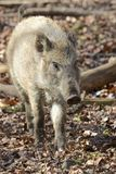 Young wild boar in the forest Royalty Free Stock Image